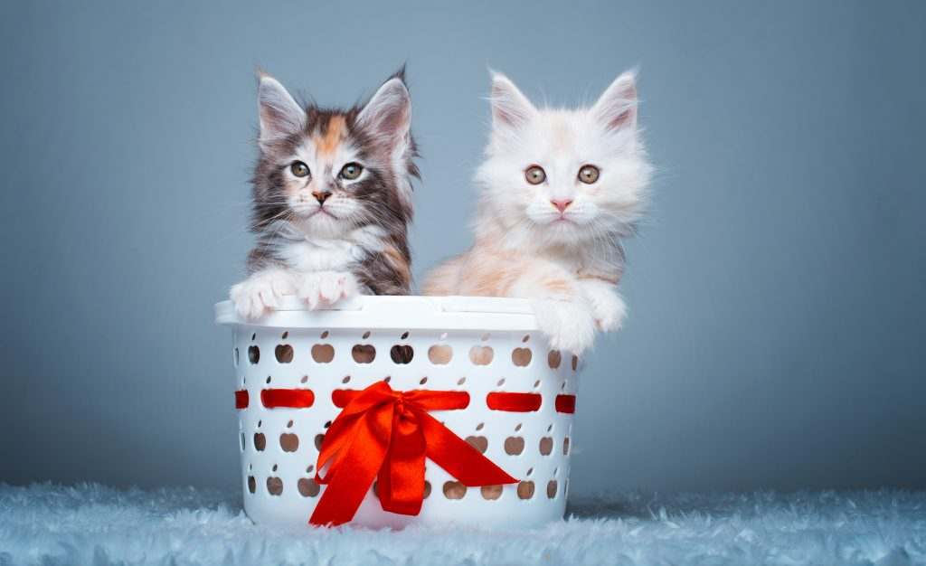 Cats Kitten Cute White Brown 5K Wallpaper