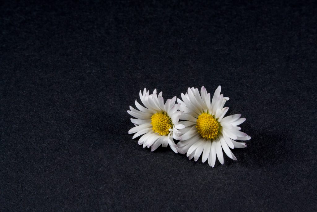 Daisy Flowers White Yellow Black 4K Wallpaper