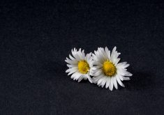 Daisy Flowers White Yellow Black 4K Wallpaper