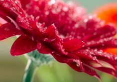 Flower Red Water Drops Waterdrops 4K Wallpaper