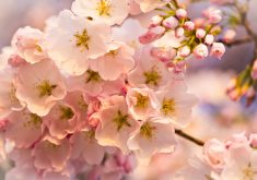 Flowers Cherry Blossom Pink 4K Wallpaper
