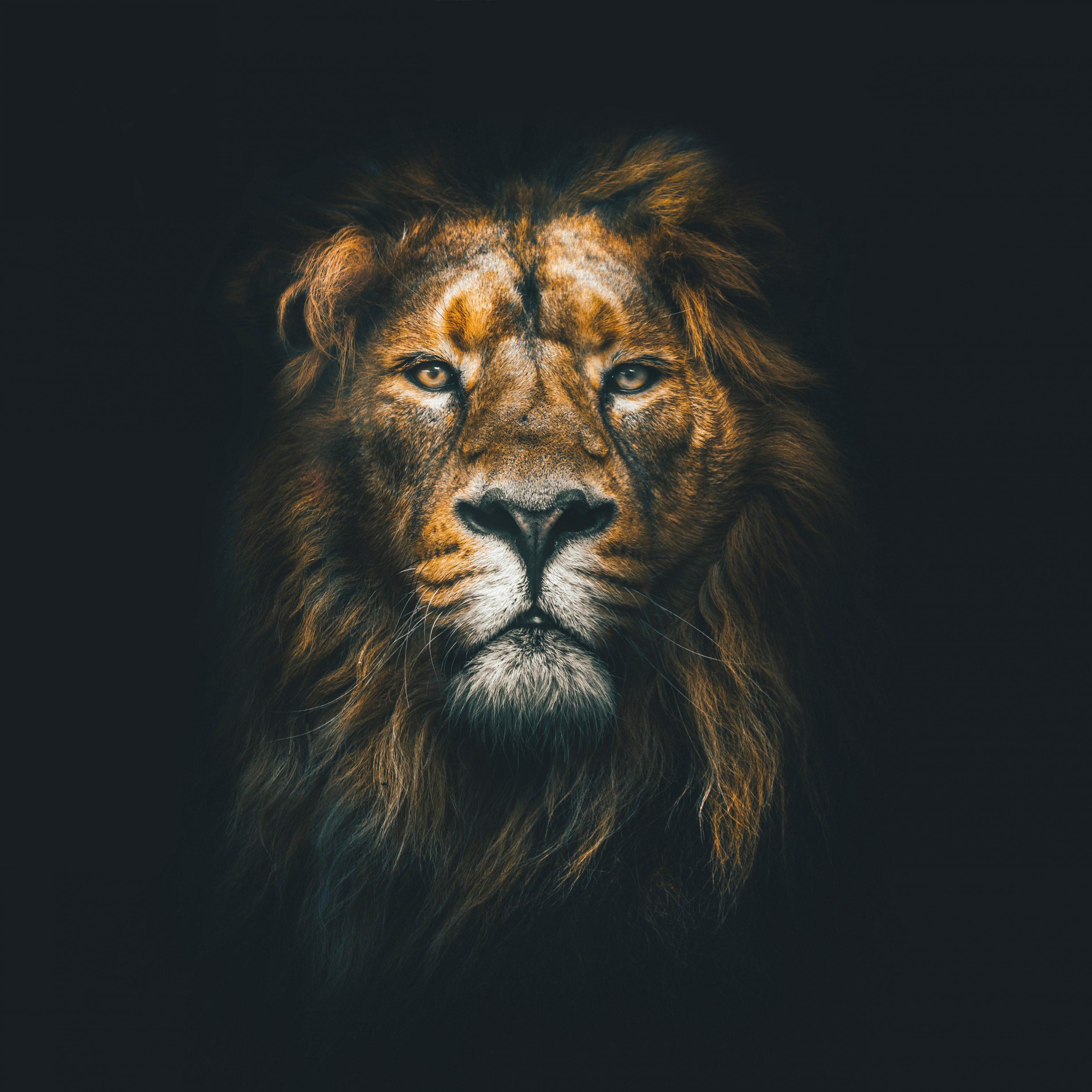 Lion Face Closeup Wild Animal Wildlife 8K Wallpaper