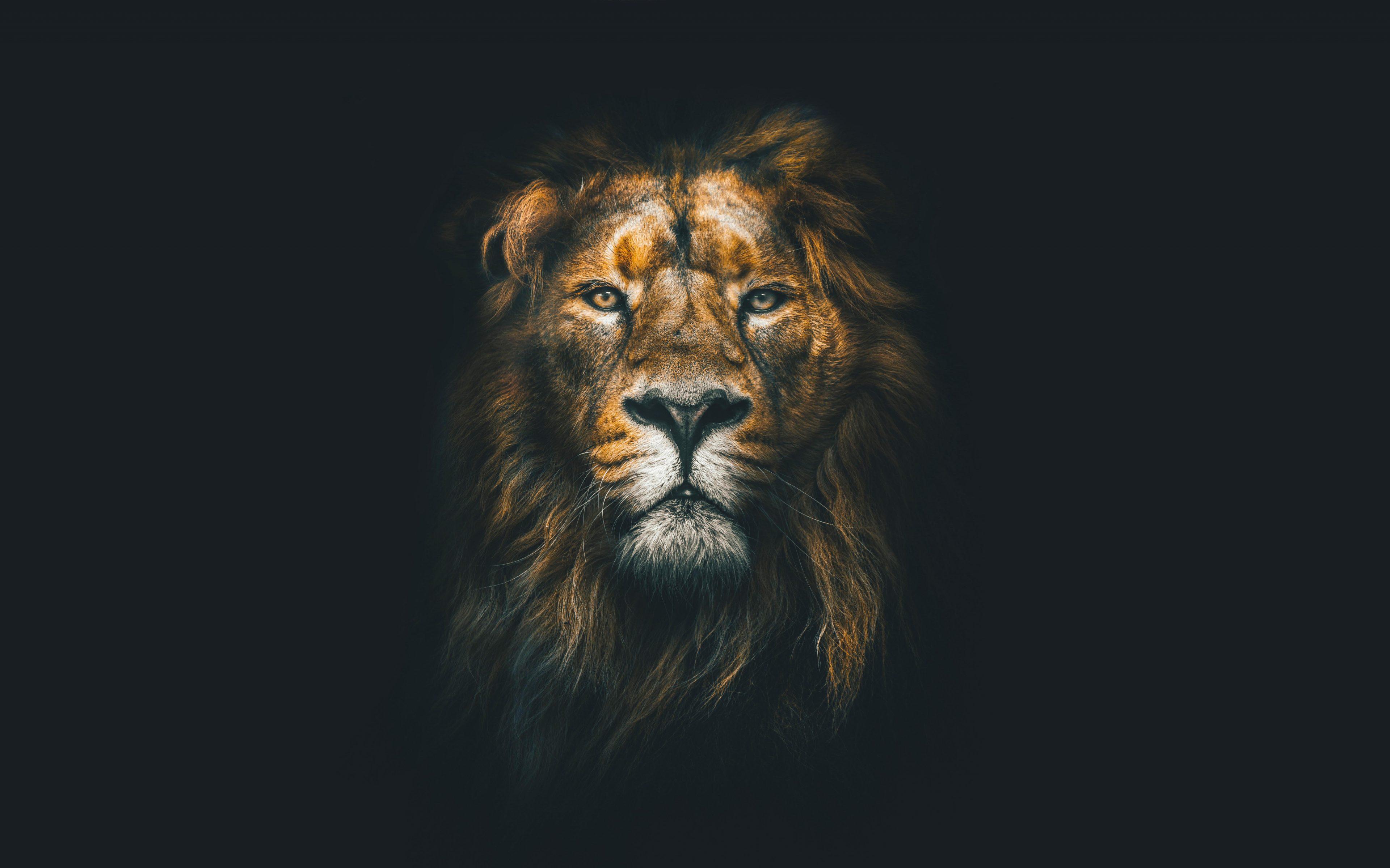 Lion face closeup wild animal wildlife 8k wallpaper best - 8k animal wallpaper ...