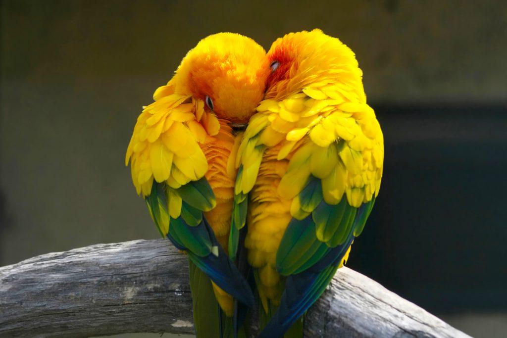 Lovebirds Birds Love Colorful Yellow 4K Wallpaper