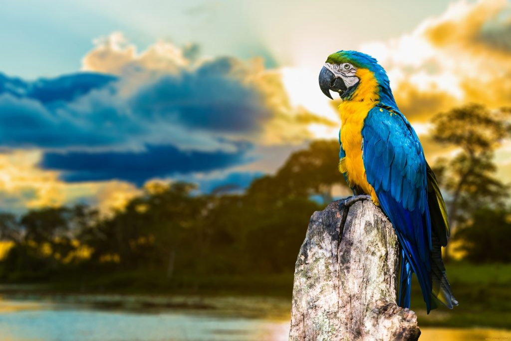 Parrot Colorful Blue Yellow Sunset Clouds 4k Wallpaper