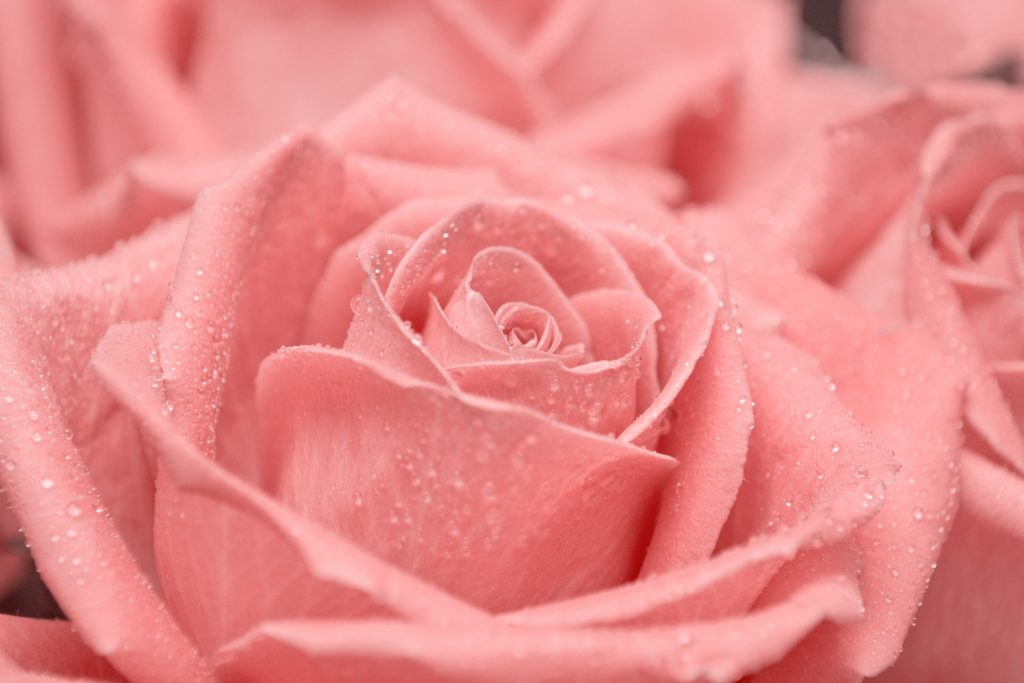 Rose Pink Waterdrops Drops Water 4K Wallpaper