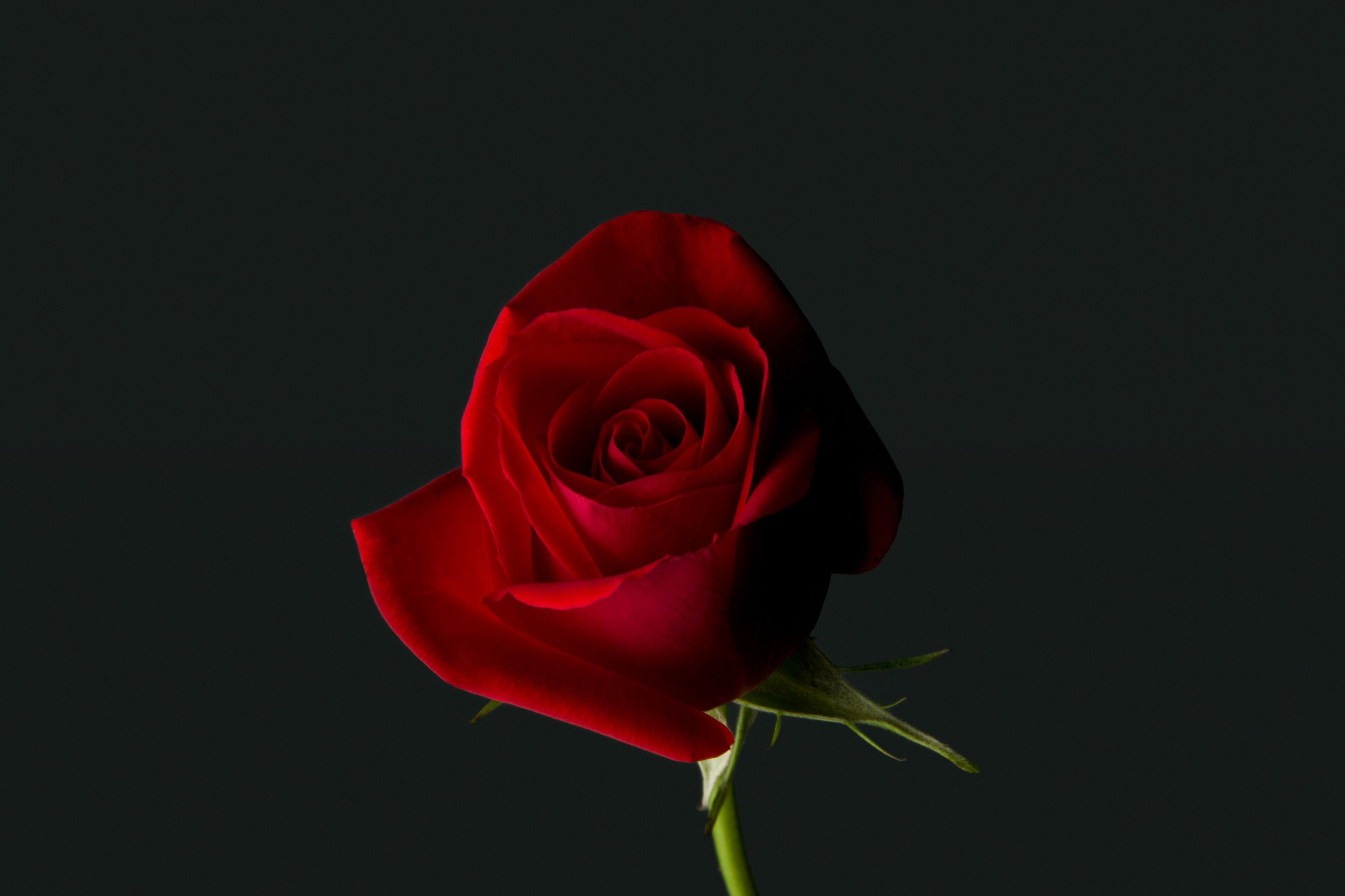 Rose Red Flower 4K Wallpaper - Best Wallpapers