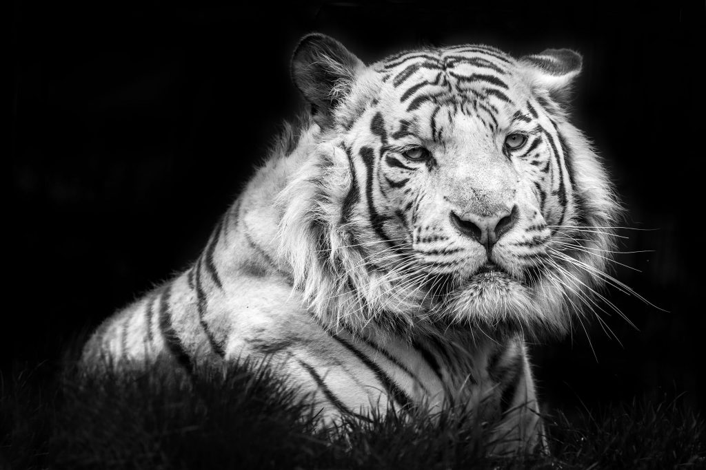 Tiger Monochrome Animal White 4K Wallpaper