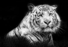 Tiger Monochrome Animal White 4K Wallpaper