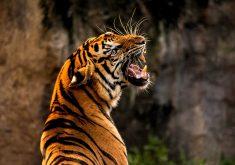 Tiger Roar Animal Wild Wildlife Orange 4K Wallpaper