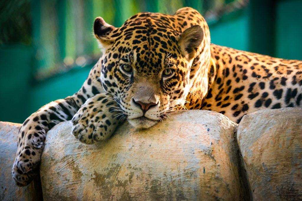 Jaguar Wild Animal Wildlife 4K Wallpaper