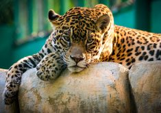 Jaguar Wild Animal Wildlife 4K Wallpaper