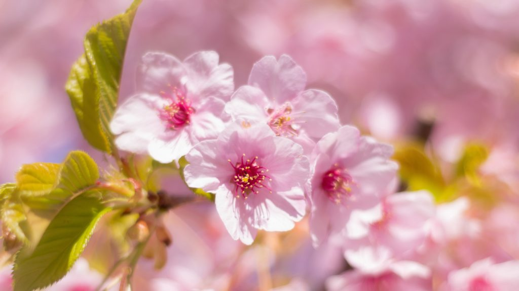 Pink Flowers Spring Green Leaves 5K Wallpaper