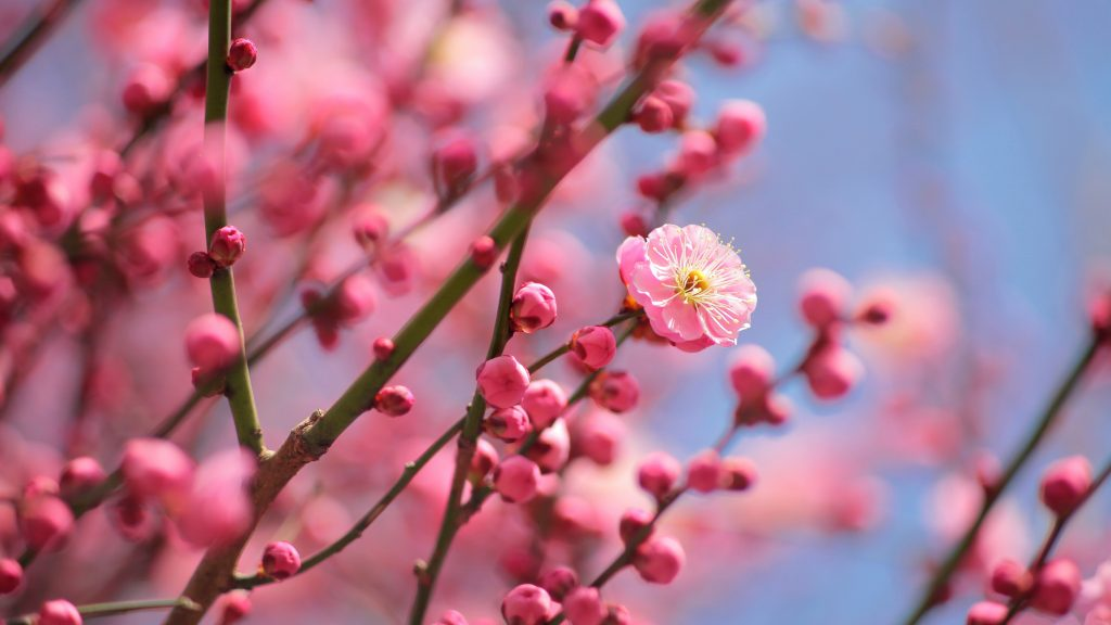Plum Blossoms Blooming Flowers Pink 5K Wallpaper