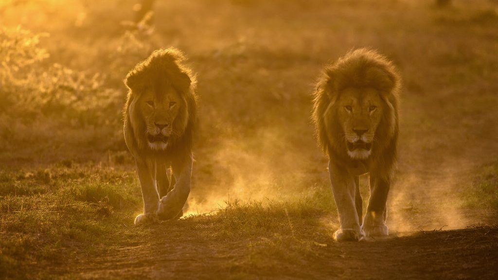 Two Male Lions Animals Wildlife 4K Wallpaper