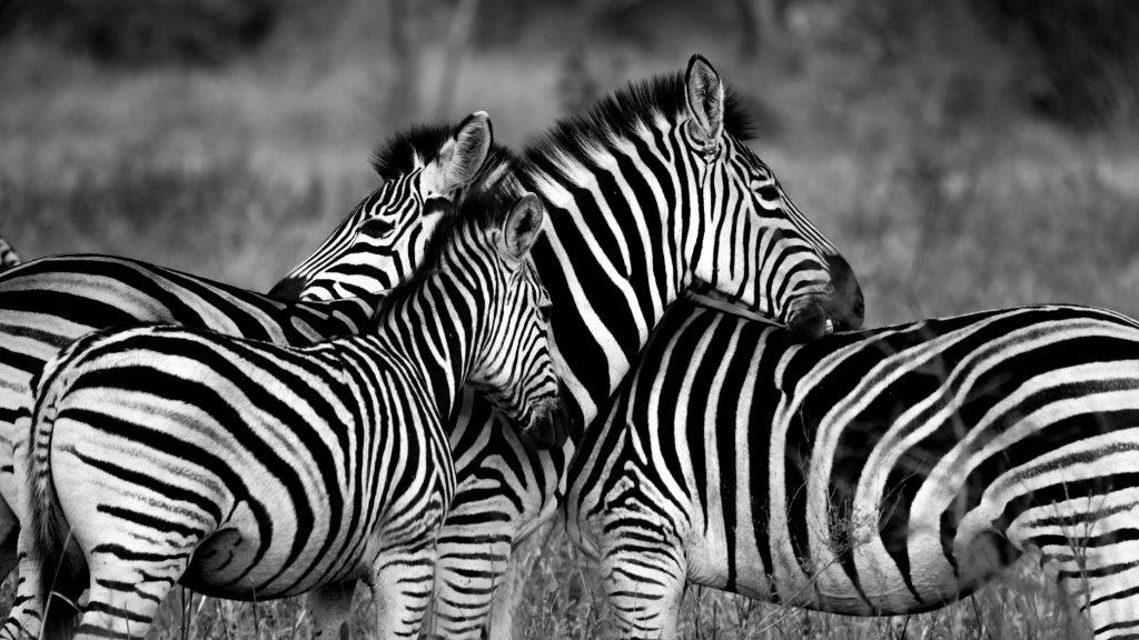 Zebra Family Monochrome Wildlife 5K Wallpaper