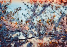 Beautiful Cherry Blossom Flowers 5K Wallpaper