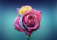 Colorful Rose With Waterdrops 4K Wallpaper