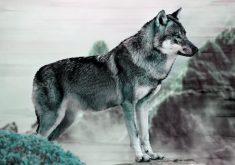 Grey Wolf 4K Wallpaper