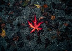 Leaf Fallen Autumn Dry Red 5K Wallpaper