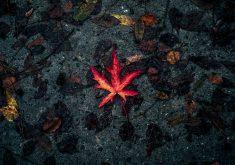 Leaf Fallen Autumn Dry Red 5K Wallpaper