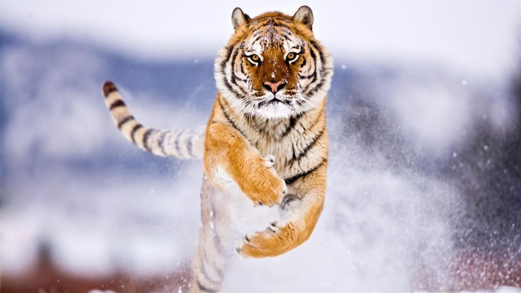 Snow Tiger Wild Animal 8K Wallpaper