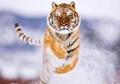 Snow Tiger Wild Animal 8K Wallpaper
