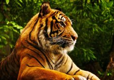 Tiger Wild Animal 4K Wallpaper