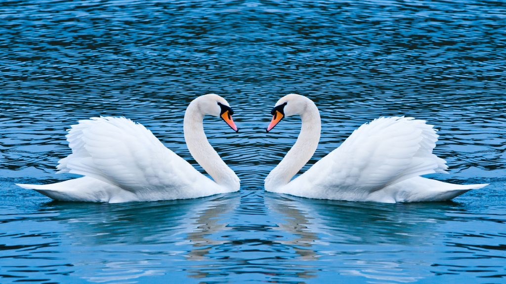 Two Swans Heart Love 4K Wallpaper