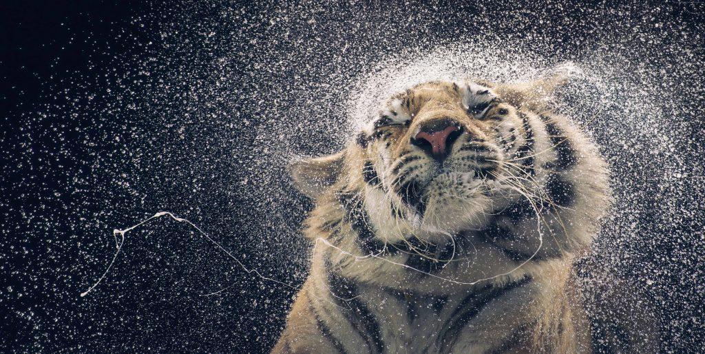 Wet Tiger Wild Animal 5K Wallpaper