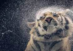 Wet Tiger Wild Animal 5K Wallpaper