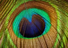 Peacock Colorful Feather 8K Wallpaper