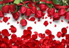 Red Roses and Petals 5K Wallpaper