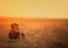 Lion Wildlife Wild Animal Sunset Dusk 5K Wallpaper