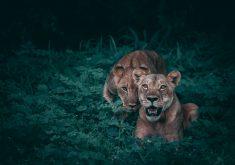 Lioness Lion Plants Wildlife Wild Animal 4K Wallpaper