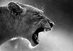 Lioness Wildlife Wild Animal Monochrome 4K Wallpaper
