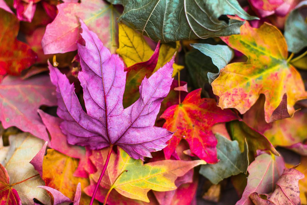 Maple Leaves Colorful Purple Red Yellow 5K Wallpaper